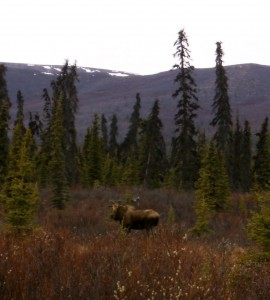 First Moose