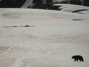 Harding Icefield Bear