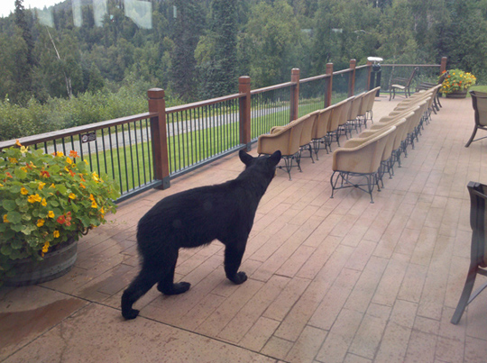 Alaskan Black Bear at Mt. McKinley Princess Wilderness Lodge, photo by Stephen Stone