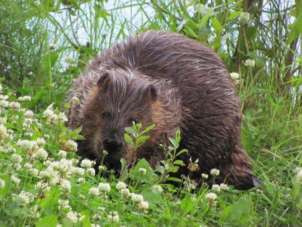 Taku Lake Anchorage Beaver