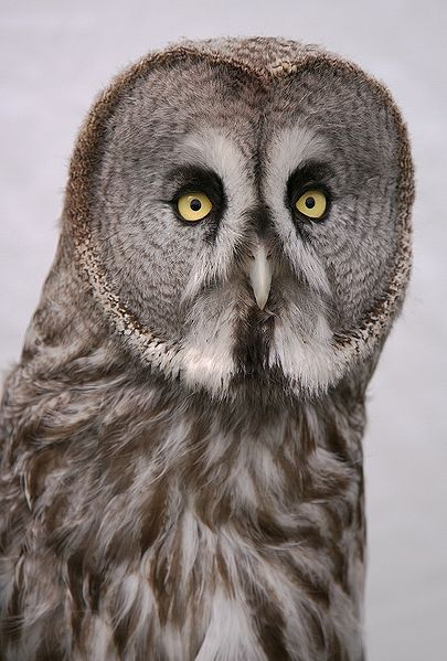 Alaskan_Great_Grey_Owl