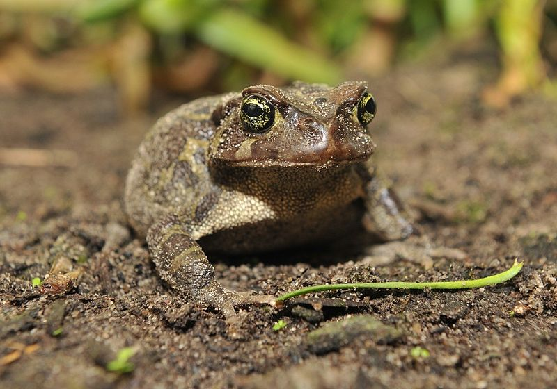 western-toad