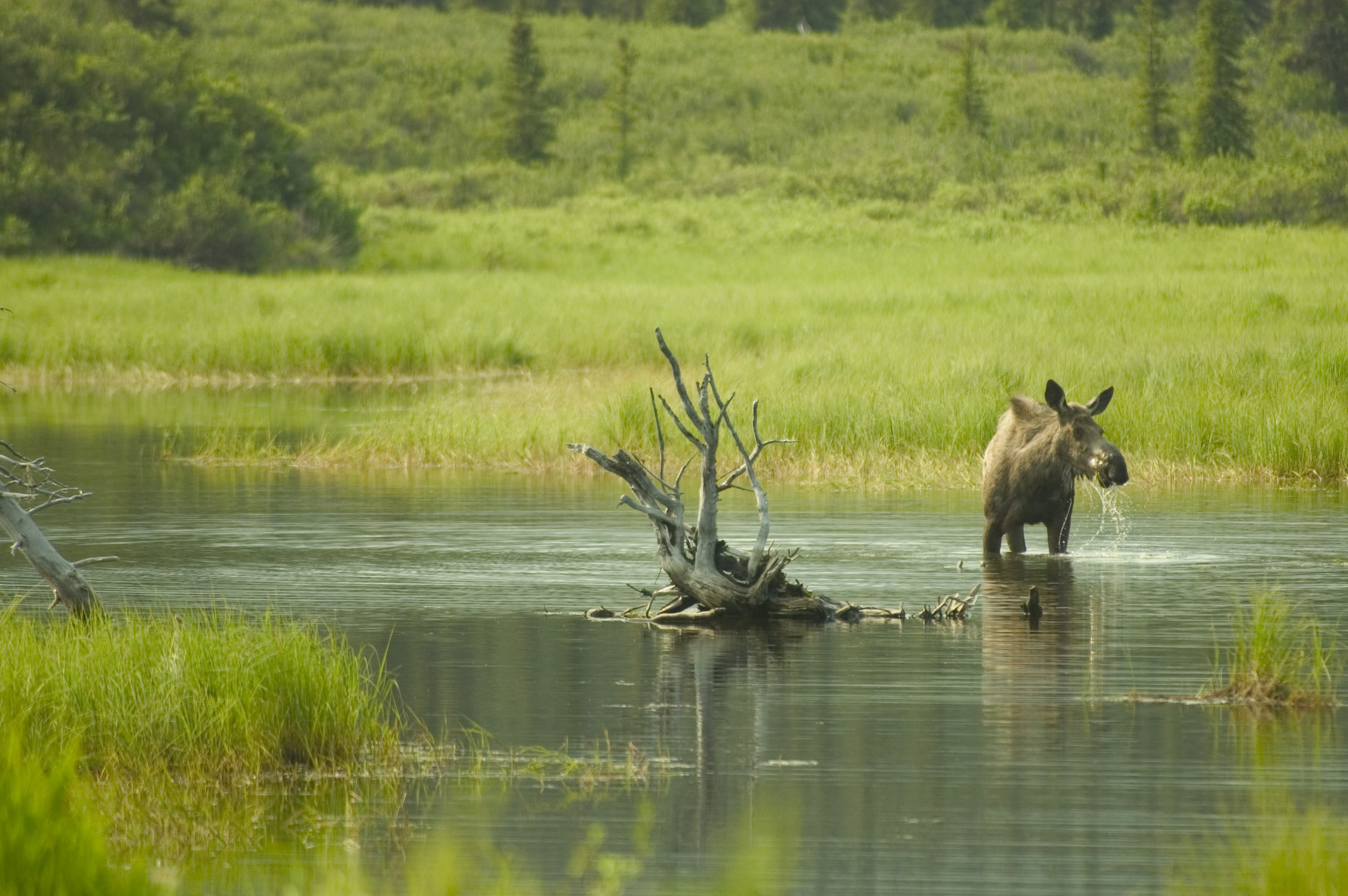 Female moose eating in a lake in Alaska, wading above her knees.