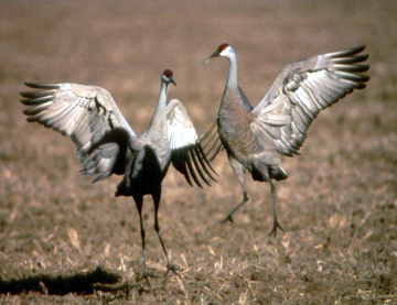Two cranes with wings open on the ground in the brown grass