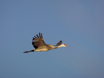 Sandhill Crane - Fairbanks, Alaska