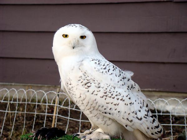 Snowy owl Alaska