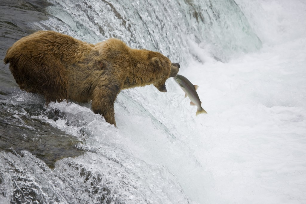 Bear standing at the top of a wide waterfall with mouth open awaiting a large salmon to jump into its mouth.