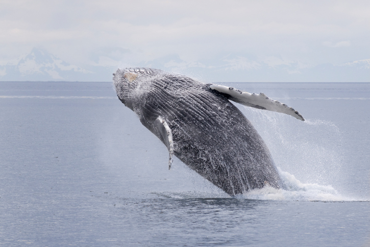 A humpback whale breaches in the waters of southern Alaska