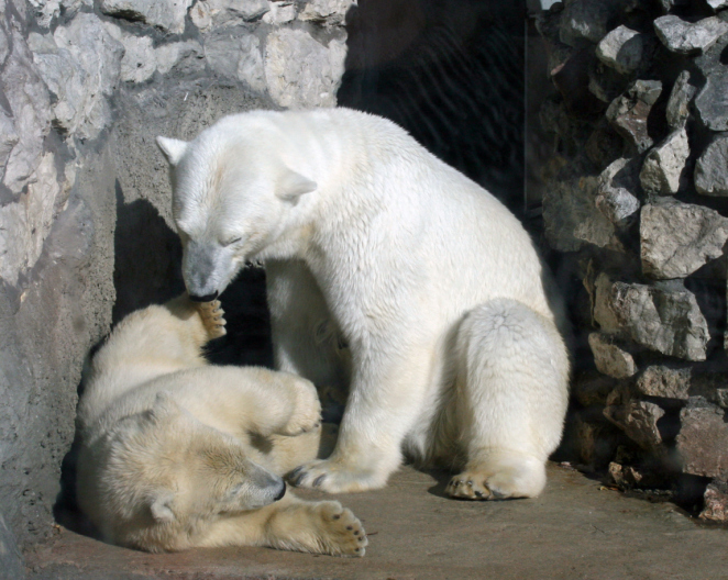 Two polar bear cubs play at the Alaska Zoo in Anchorage