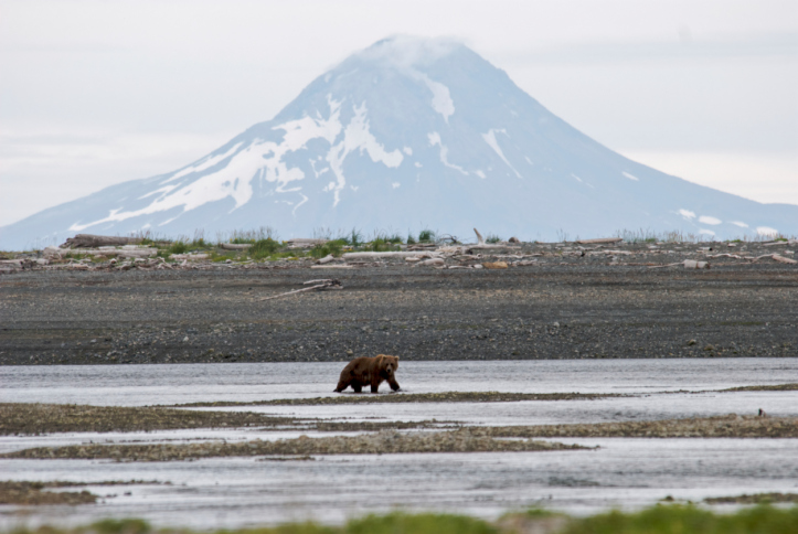 bear roaming through the river with a mountain peak behind in Katmai National Park
