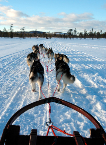 sled dogs pulling a sled on the snow - photo taken from the perspective of the musher