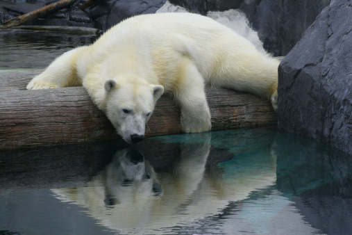 a polar bear laying on a log peering into the water below