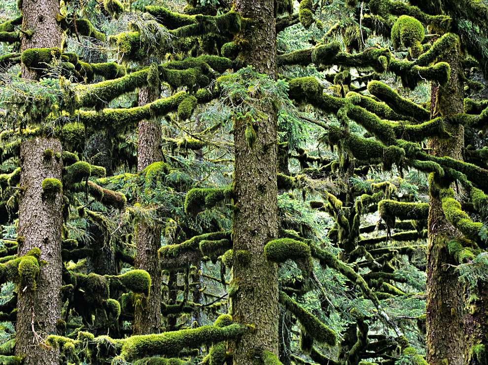 Moss covering all the branches of the trees in an evergreen forest