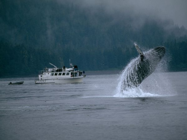 humpback whale breaching with a boat pulling a dinghy behind