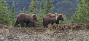 Brown bears walk in the forest