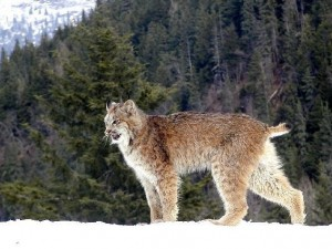 A lynx stands in the forest