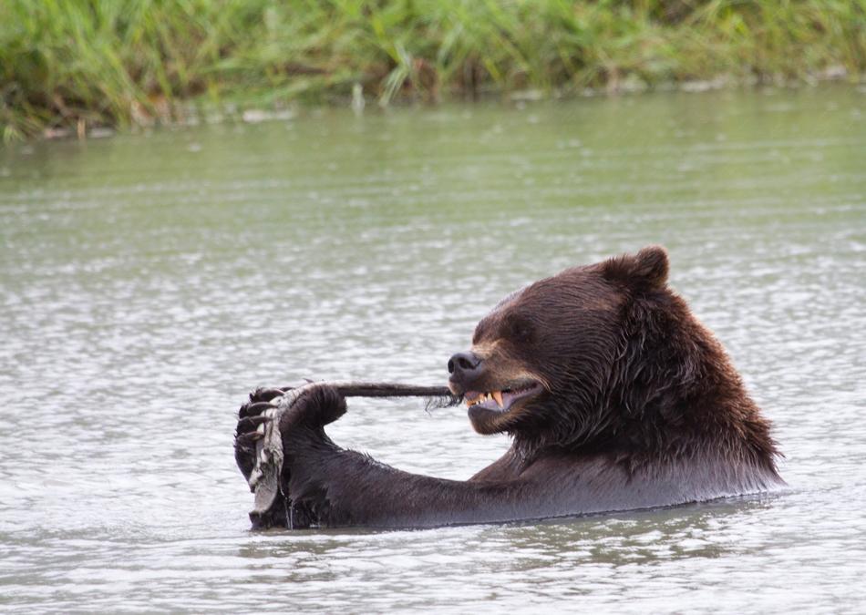Alaska brown bear having a mid-river salmon snack - Princess Lodges