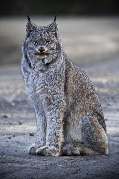 Lynx in Alaska