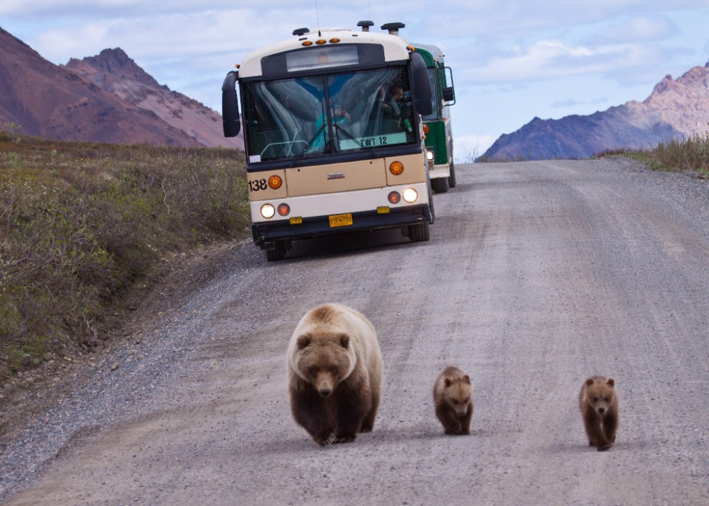 A Mama Bear and two cubs walk down a gravel road with a bus behind them, Denali National Park