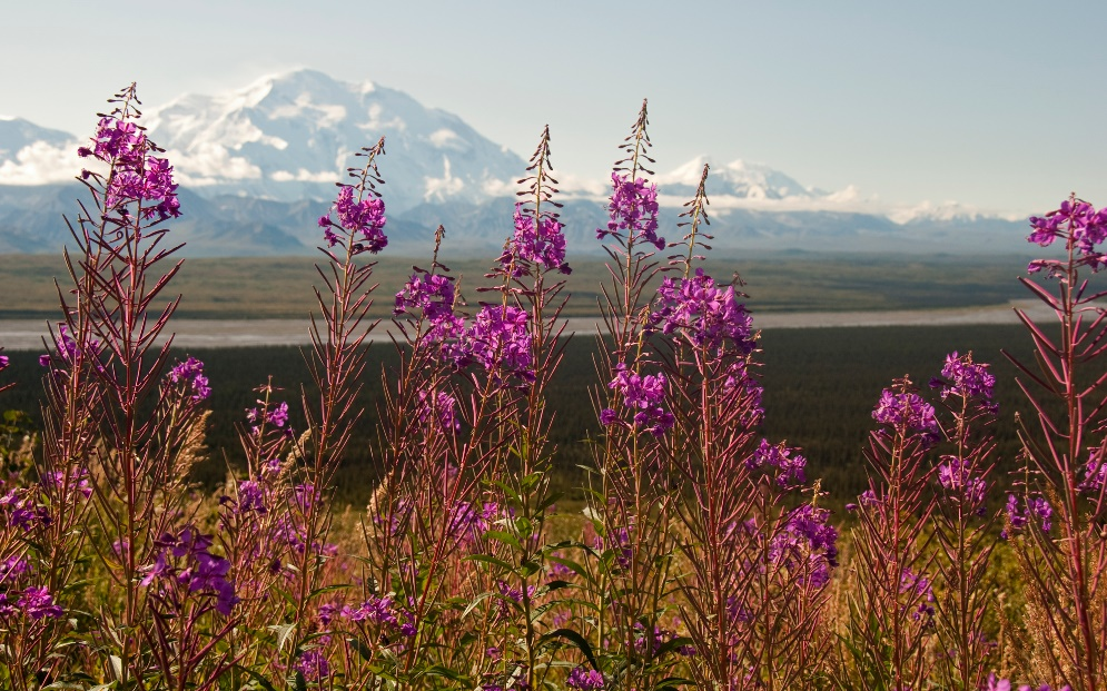 Denali in the background with vibrant purple fireweed in the foreground