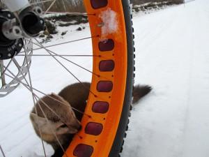 marten with fatbike wheel Yukon Koitzsch