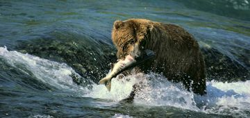 Bear fishing in a river with a salmon in its mouth