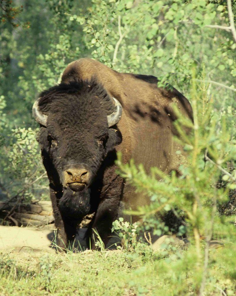 Wood Bison Alberta
