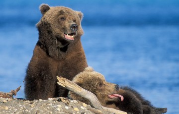 Mama bear and cub in front of water in Alaska