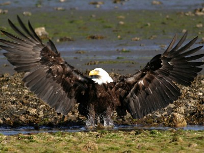 Bald eagle taking off out of water in Alaska