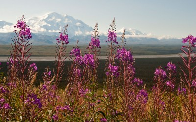 View of Denali in the distance with purple meadow flowers in the foreground