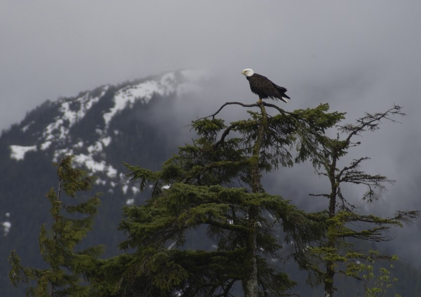 A bald eagle sits in a tree