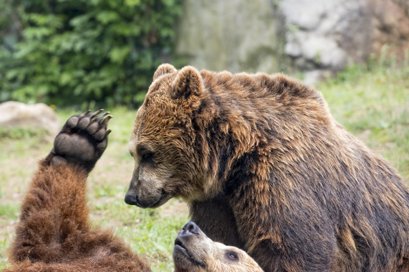 Brown grizzly bears while playing