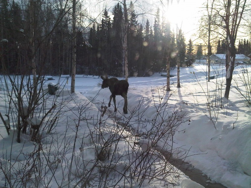 Moose at Princess Lodge