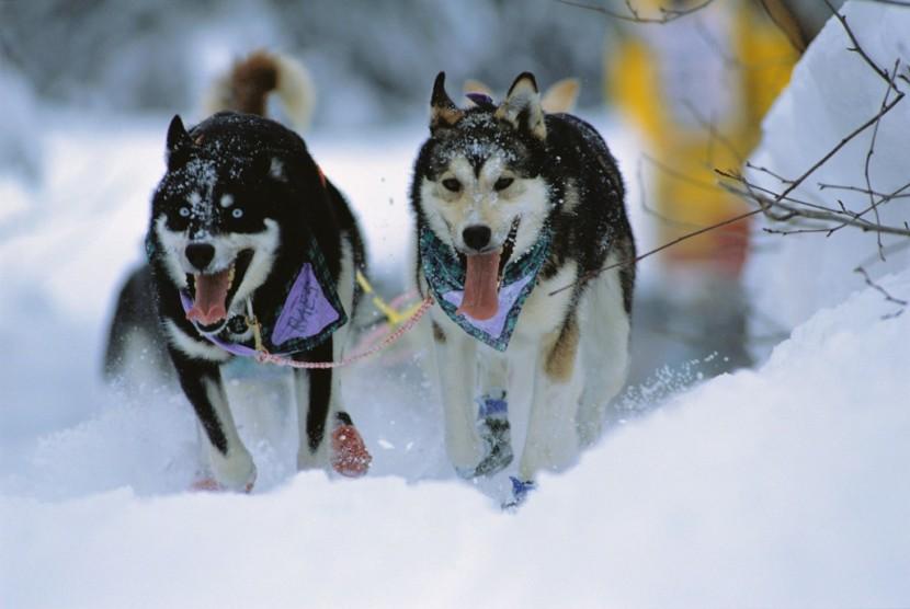 Alaska Dog Sled Huskies in motion