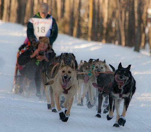 Alaska sled dogs sprint with their tongues flailing and their musher, Jeff King, behind them on the sled.