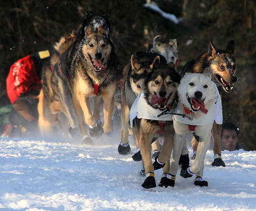Alaska sled dogs racing on snow at the start of the Iditarod. Tongues waggin, snow flying under the dogs' paws.