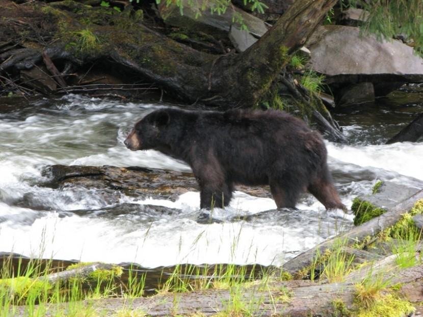 A black bear stands in a river