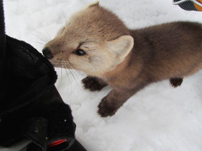 A red-haired Marten