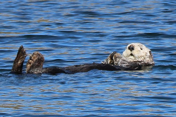 A sea otter floats in the water