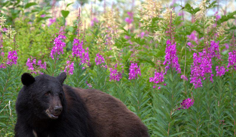 Taku Lodge Bear w/ Fireweed