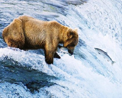 Bear at Katmai National Park