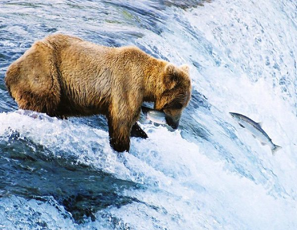 Bear at Katmai National Park