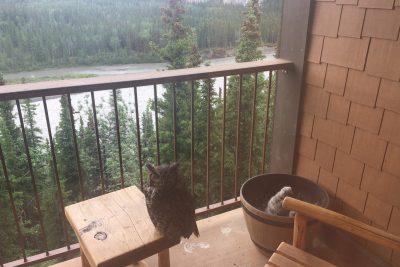 Owls at Denali Princess Wilderness Lodge