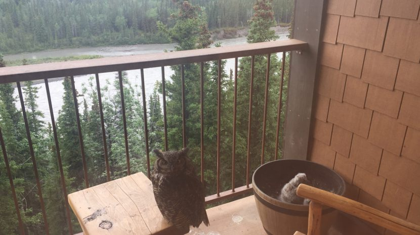 Owls at Denali Princess Wilderness Lodge