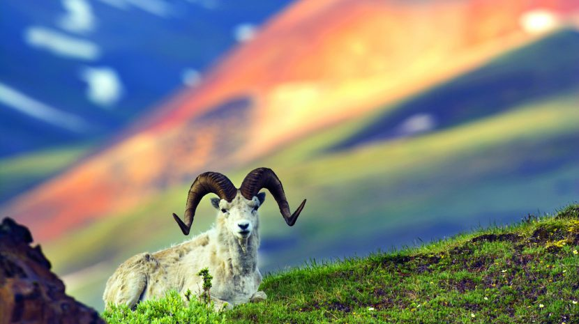 A Dall sheep on the ridge of Polychrome Pass in Denali National Park.