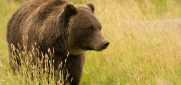 Alaska Grizzly Bear roaming through tall grasses