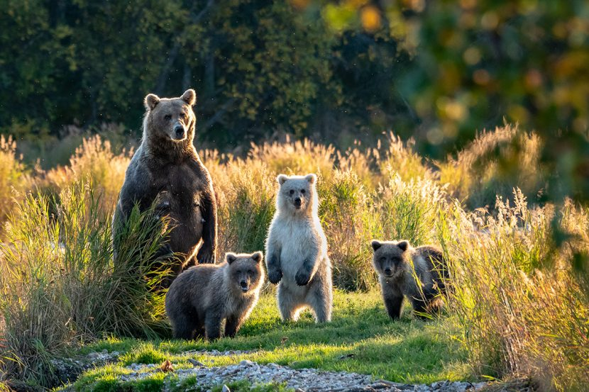 Mom bear and cubs