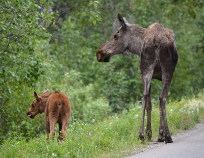 Mama moose and baby